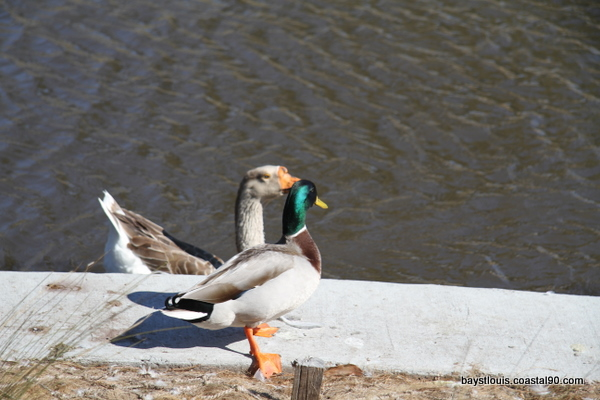 A mallard gets ready for a paddle in the Bay St. louis Duck pond.