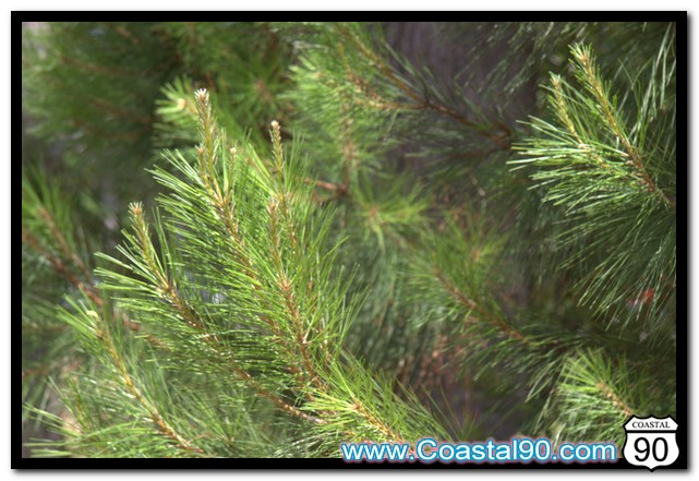 Pine trees in Diamonhead Mississippi. Coastal90 is now covering Diamondhead