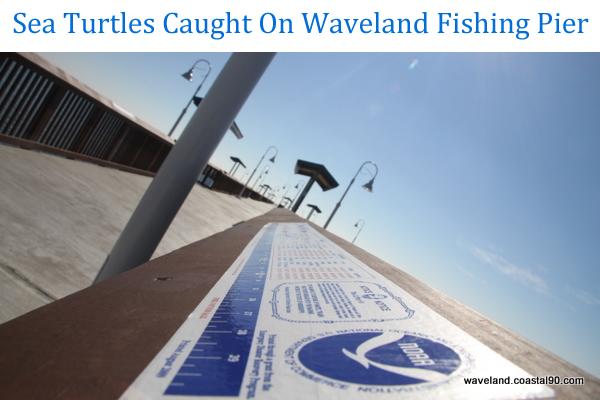 Sea-turtles-caught-on-waveland-mississippi-fishing-pier